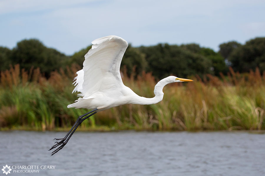 White egret in Corolla, NC | Photo by Charlotte Geary