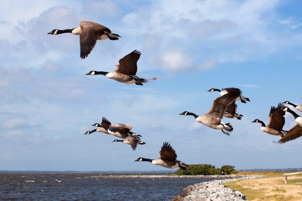 Outer Banks Geese in Corolla, NC | Photo by Charlotte Geary