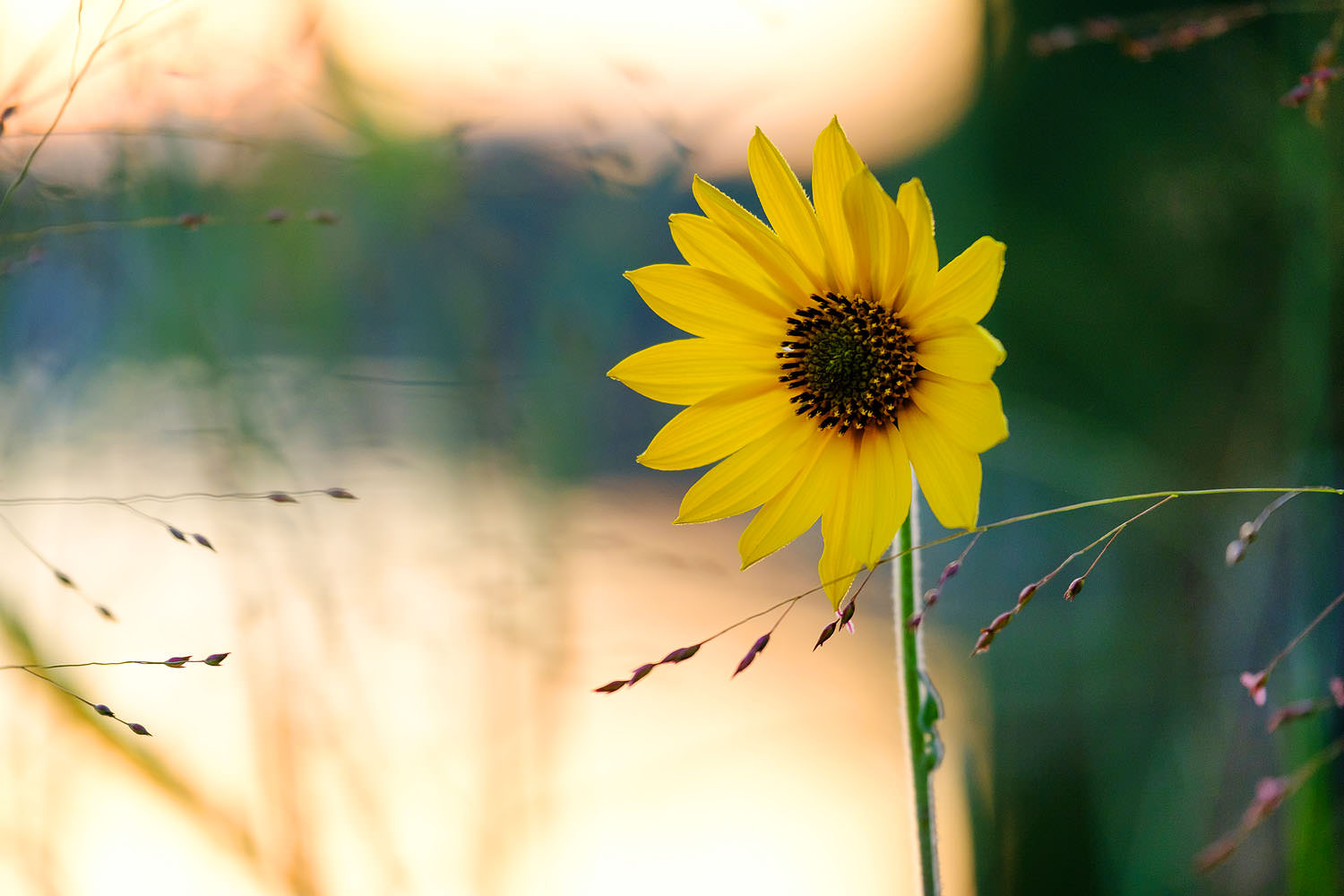 Black eyed susan wildflower at sunset