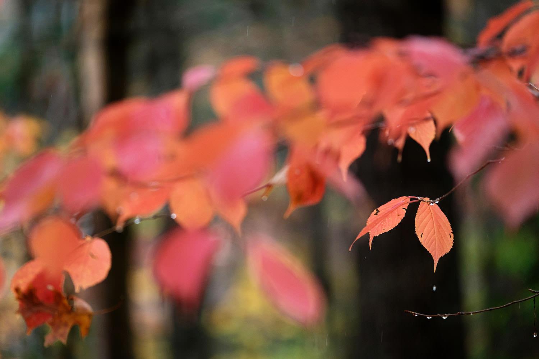 Rain drops on fall leaves