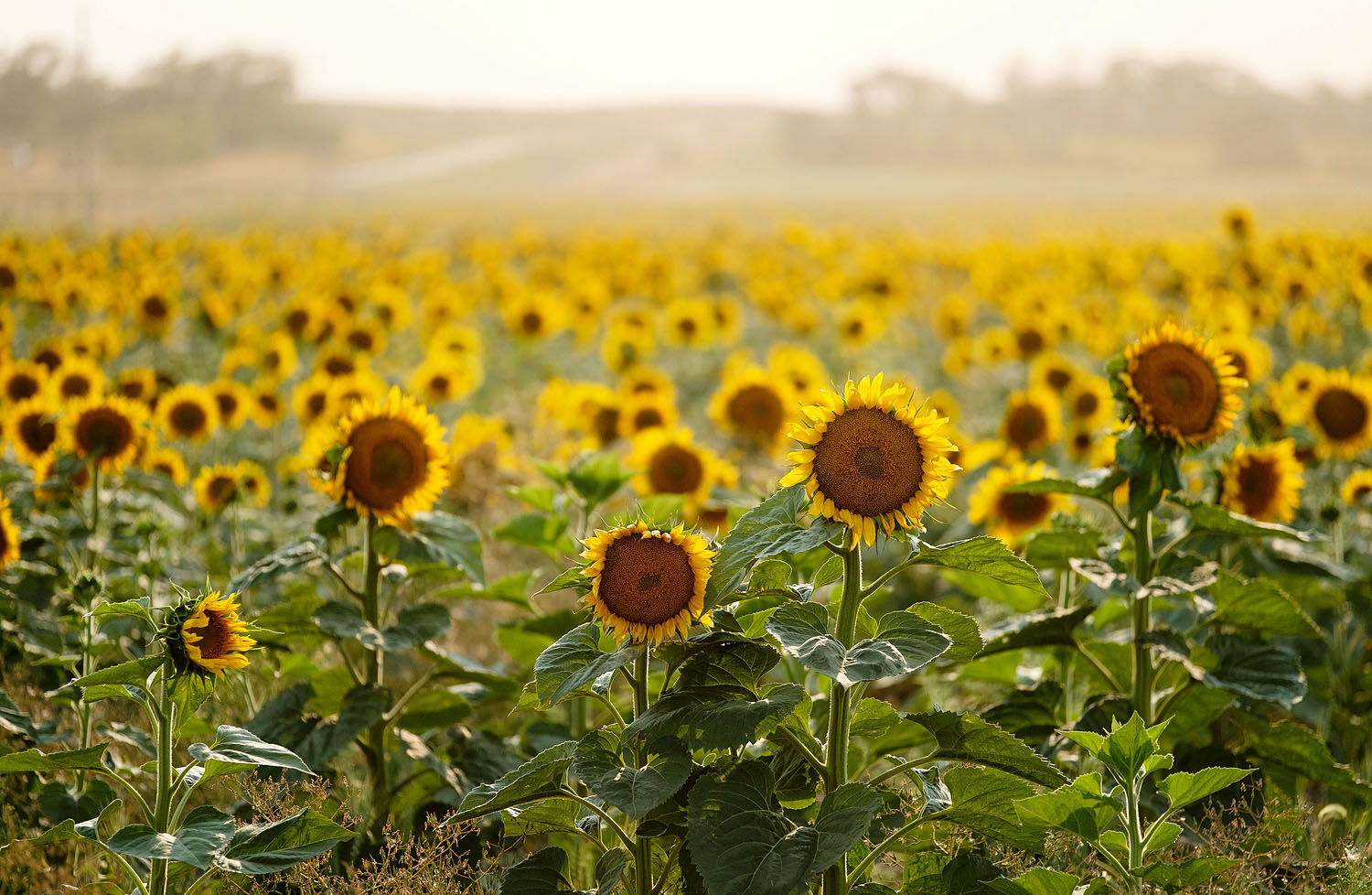 Field of sunflowers in North Dakota