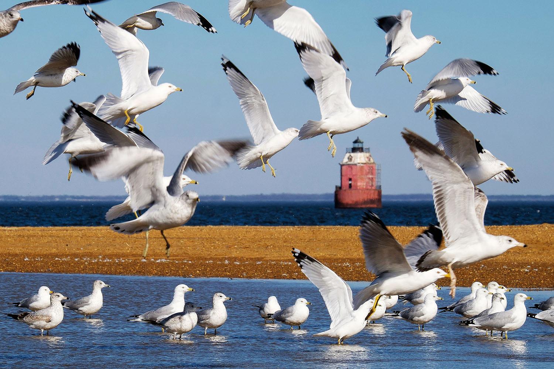 Seagulls at Sandy Point Lighthouse