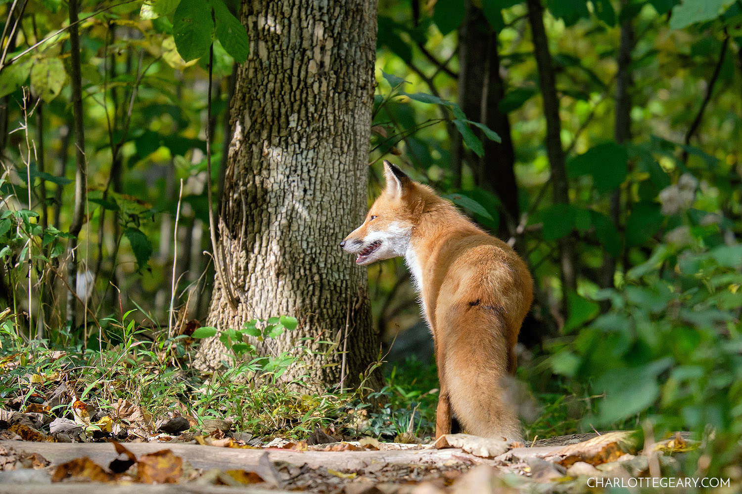Fox at Great Falls Park in Northern Virginia