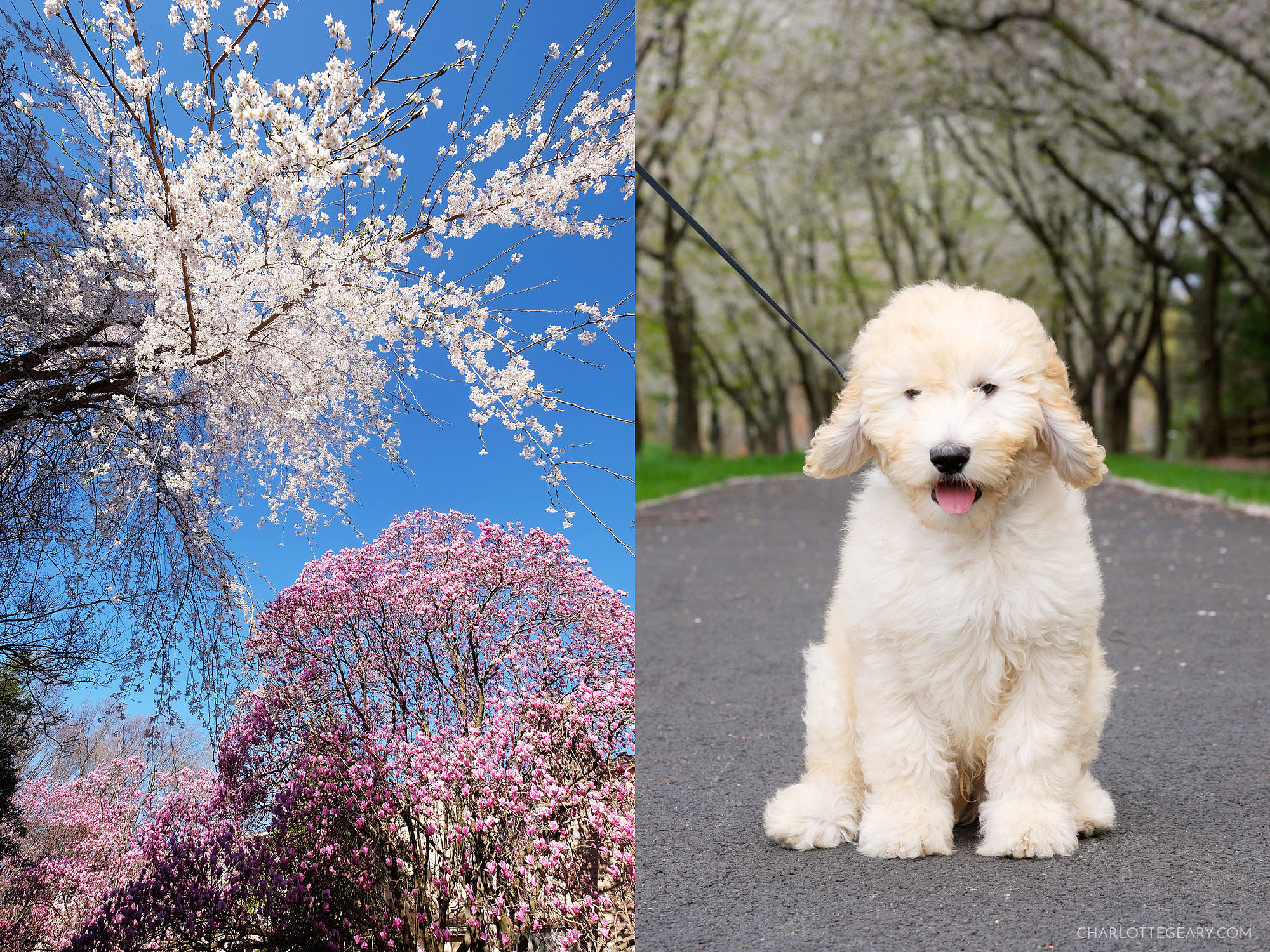 Golden doodle puppy in cherry blossoms