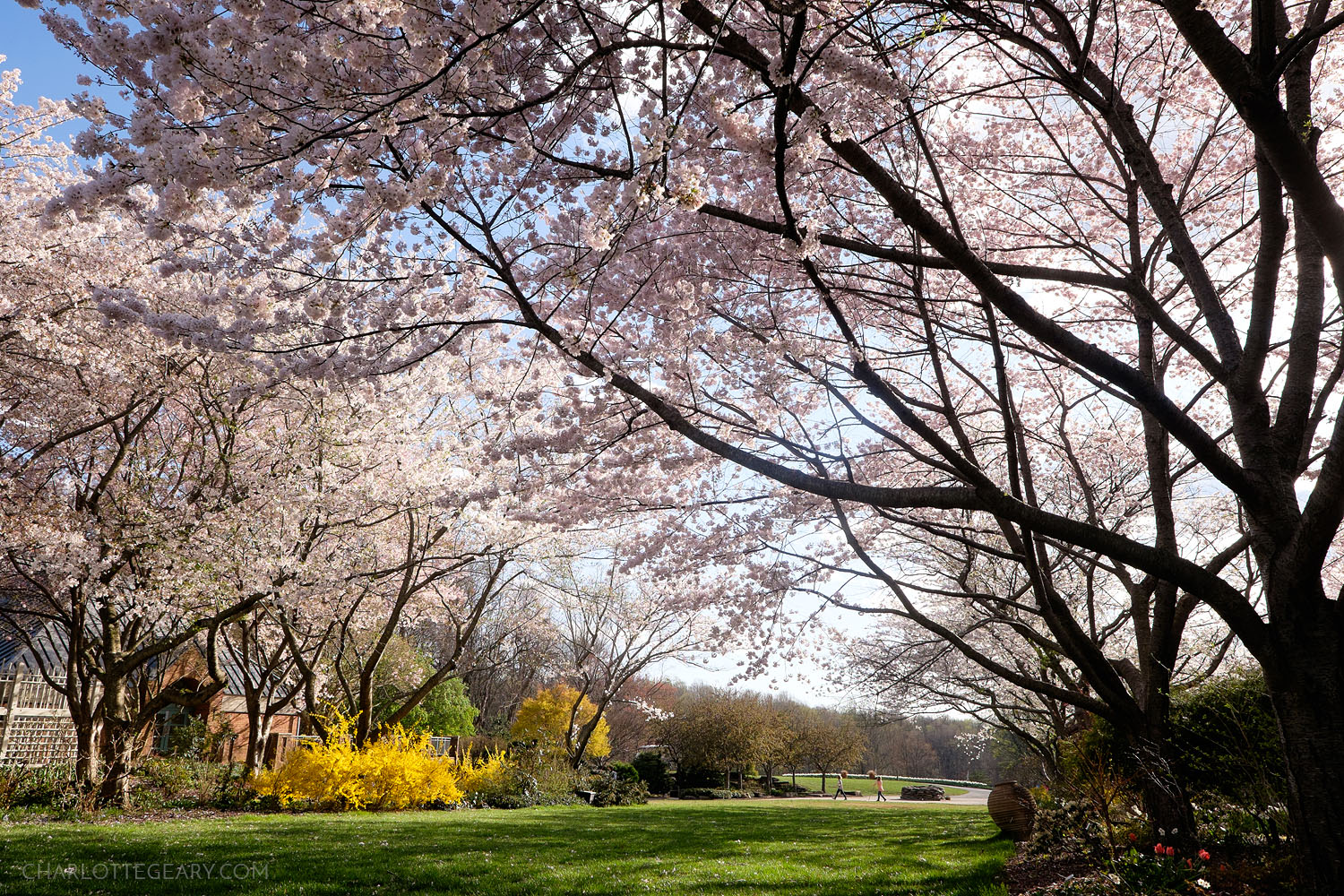 Cherry blossoms at Meadowlark Botanical Gardens in Vienna, Virginia