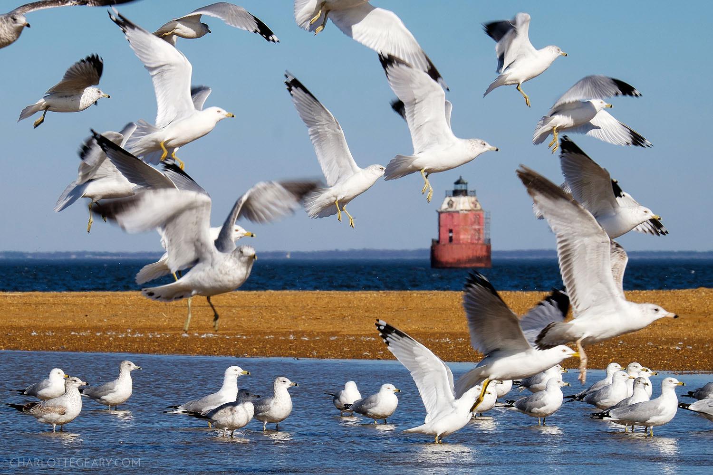 Seagulls at Sandy Point Park near Annapolis, Maryland