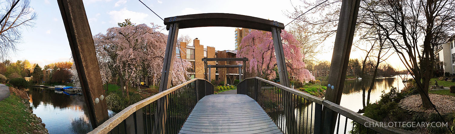 Pano of the Van Gogh Bridge cherry blossoms at Lake Anne