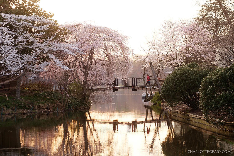 Cherry blossoms at Lake Anne's Van Gogh Bridge in Reston