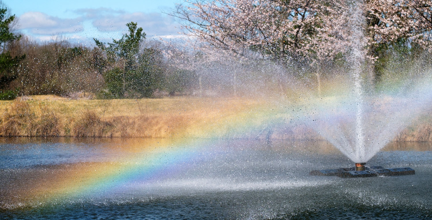 Cherry blossom rainbow at Meadowlark Gardens