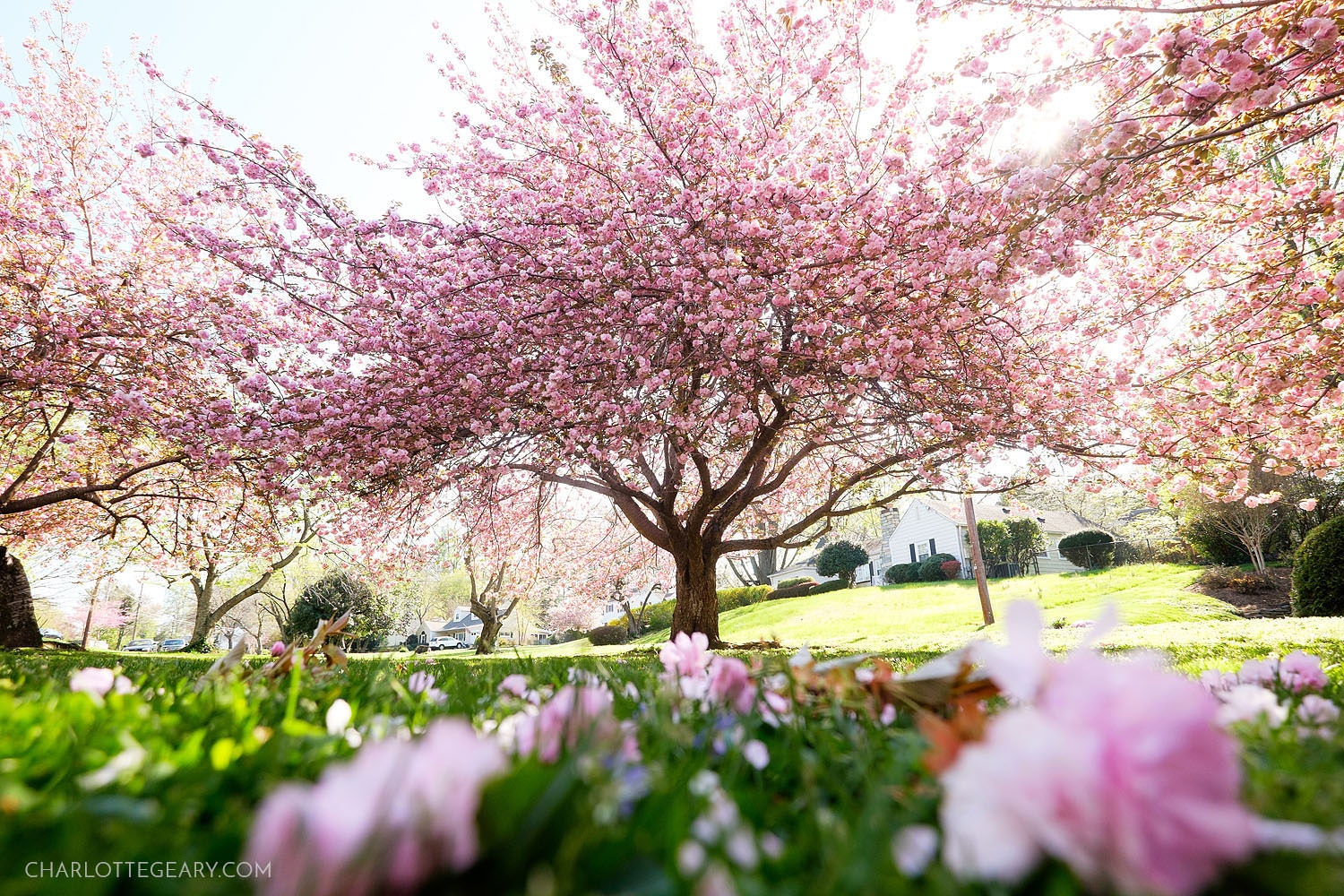 Kwanzan cherry blossoms in Annandale in Northern Virginia