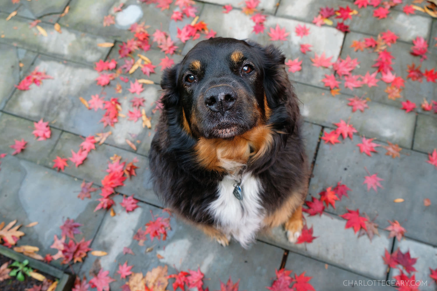 My dog Ally in Japanese maple leaves