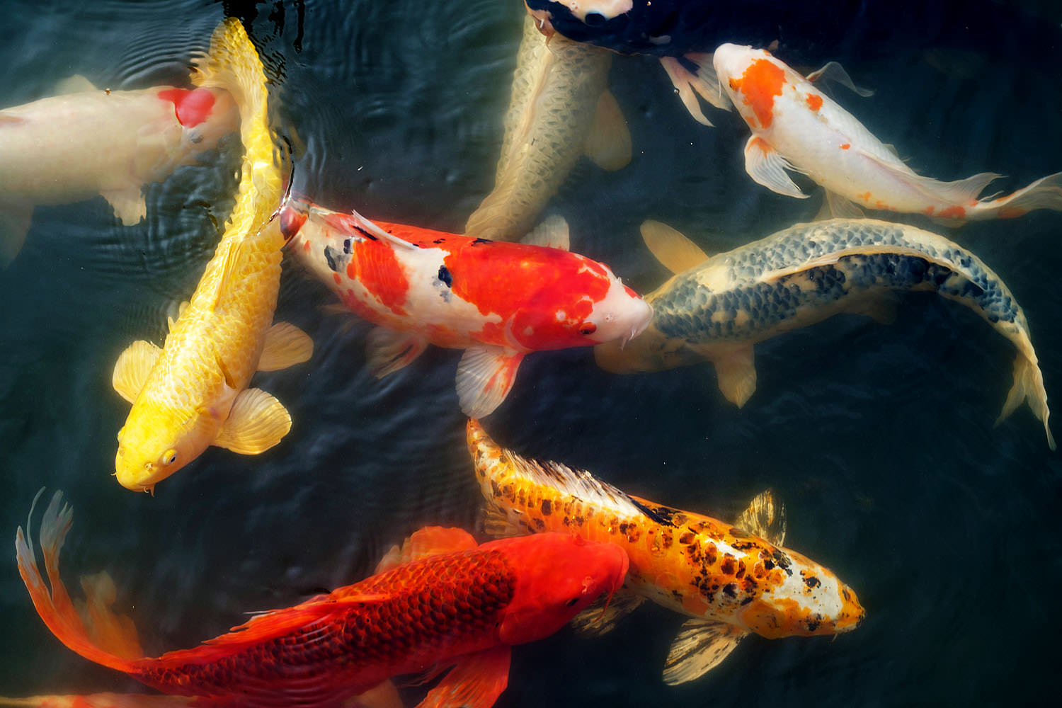 Koi fish at Meadowlark Gardens