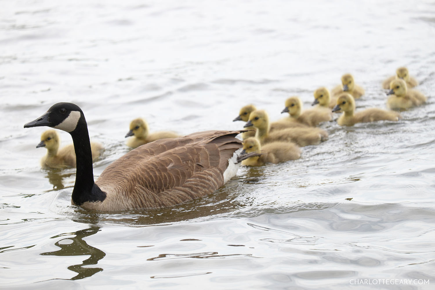 Goose with eleven goslings at Lake Anne in Reston