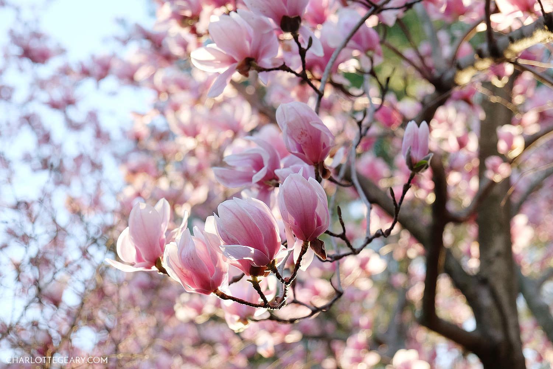 Magnolias at Isaac Newton Square