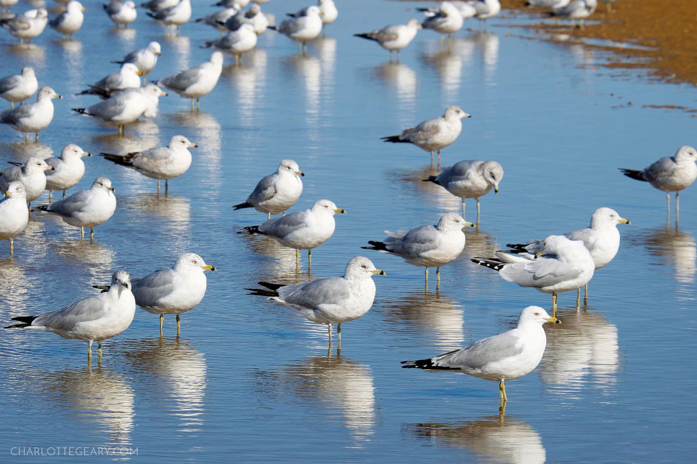 Seagulls in Annapolis