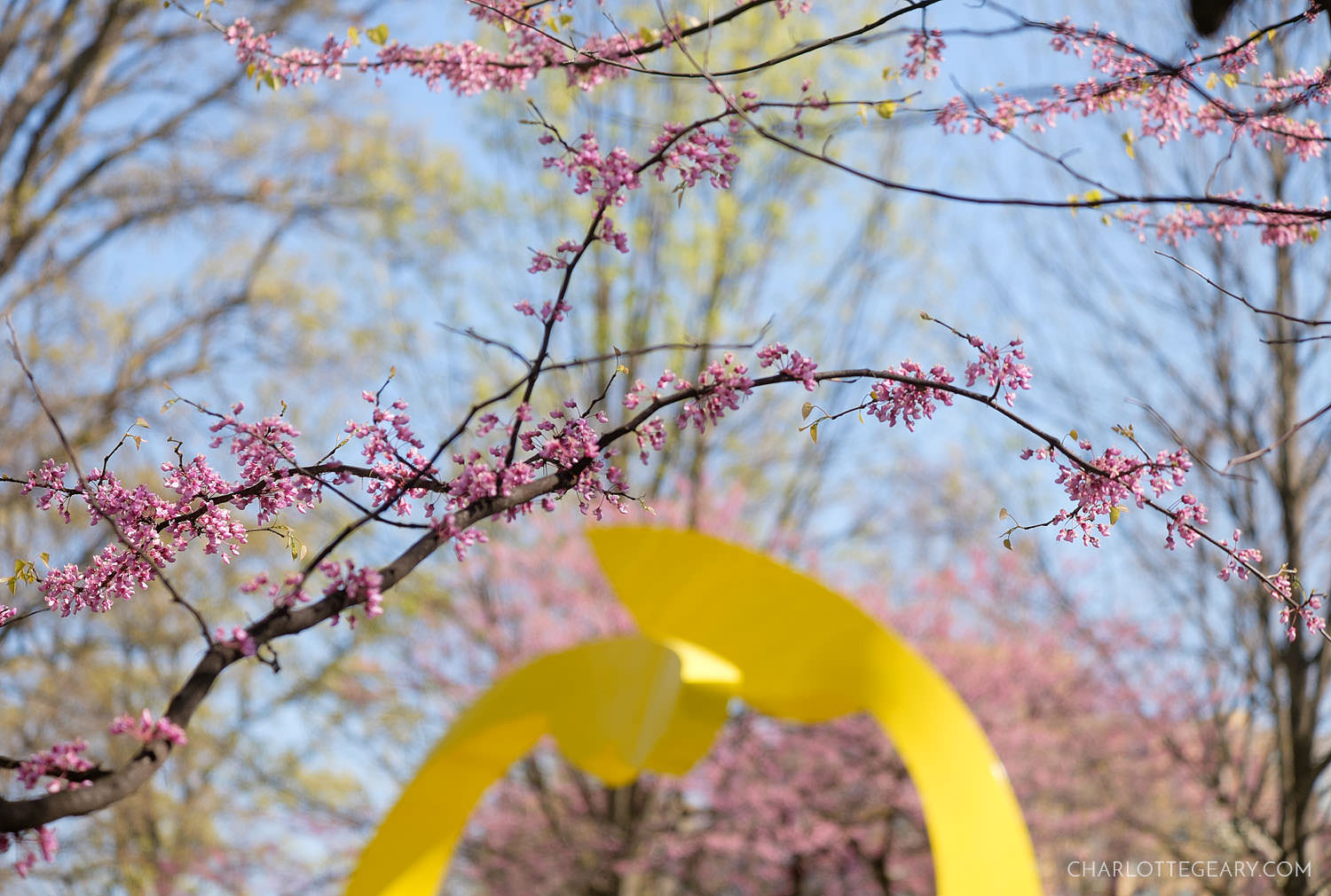 Redbuds at the Reston Rondo sculpture at Reston Town Center