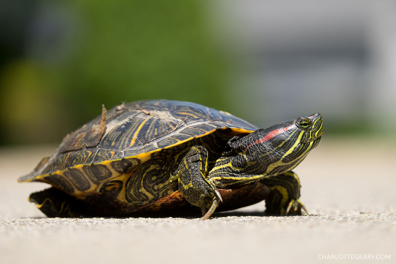 Happy turtle in Reston