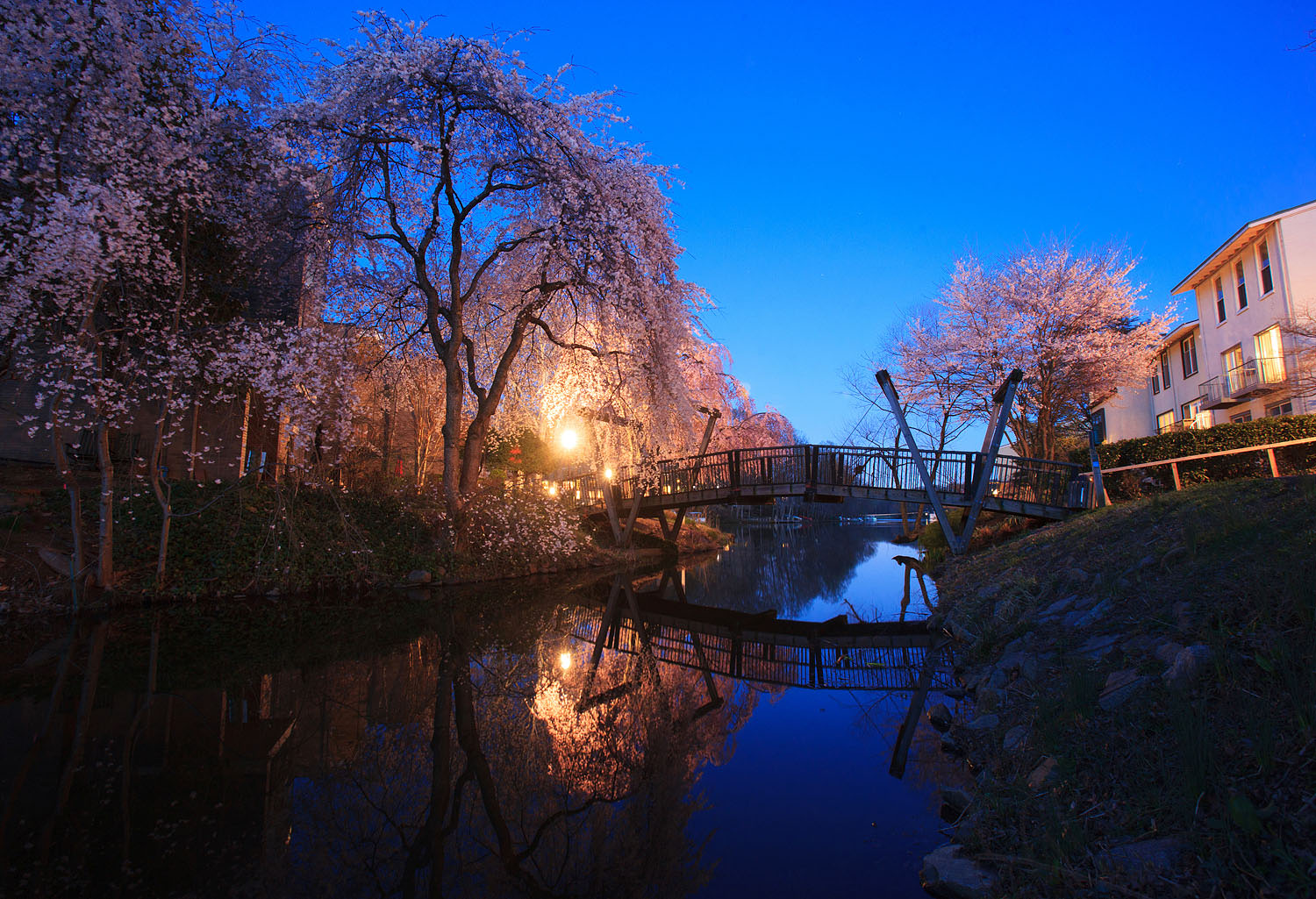 Lake Anne's Cherry blossoms at twilight