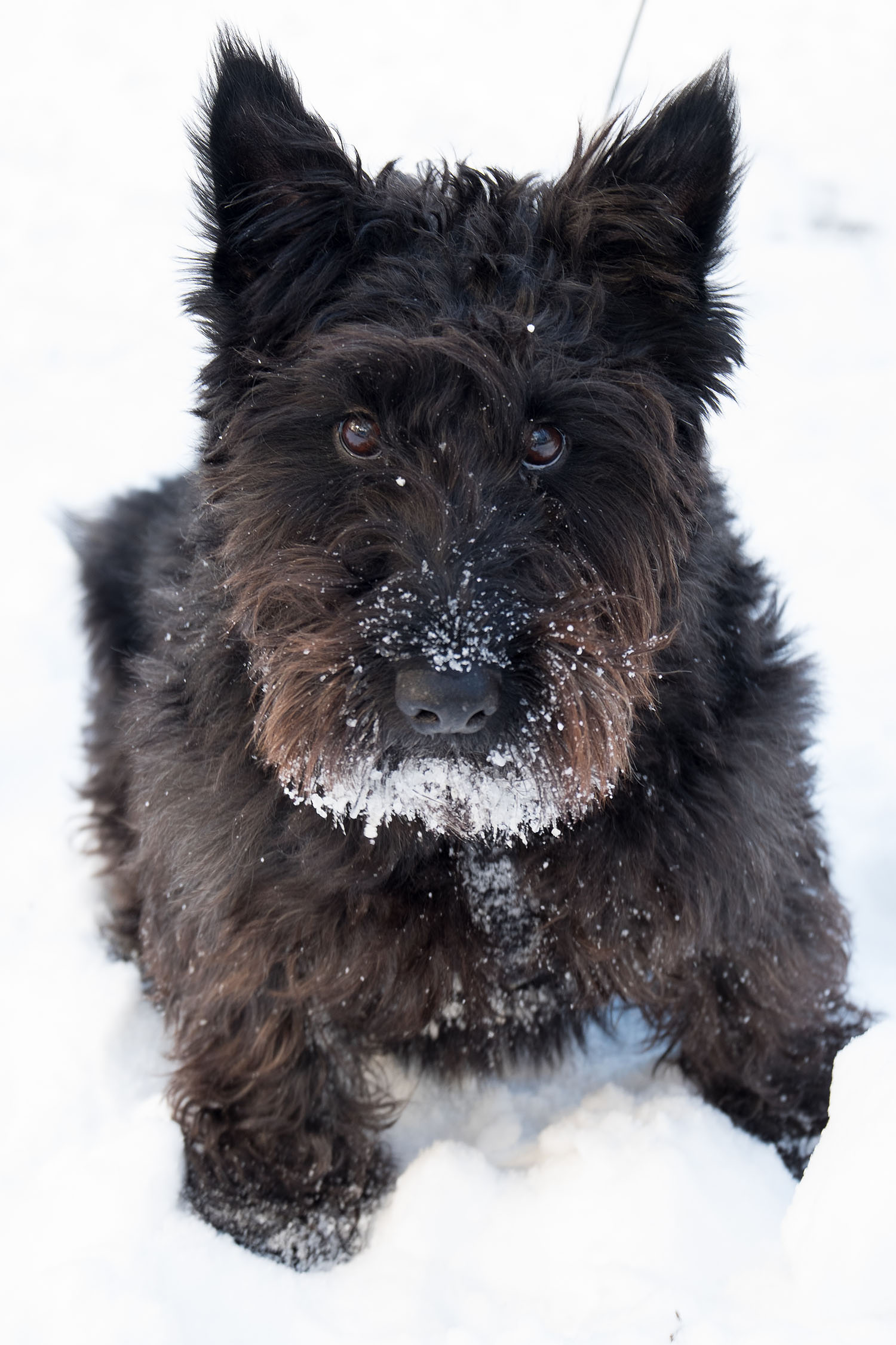 Scottish terrier in the snow