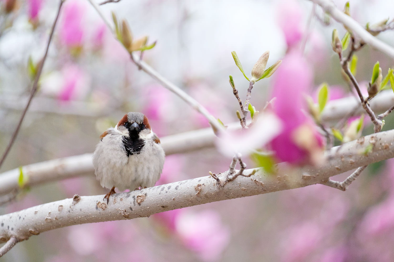 A bird in a blossoming magnolia tree in DC