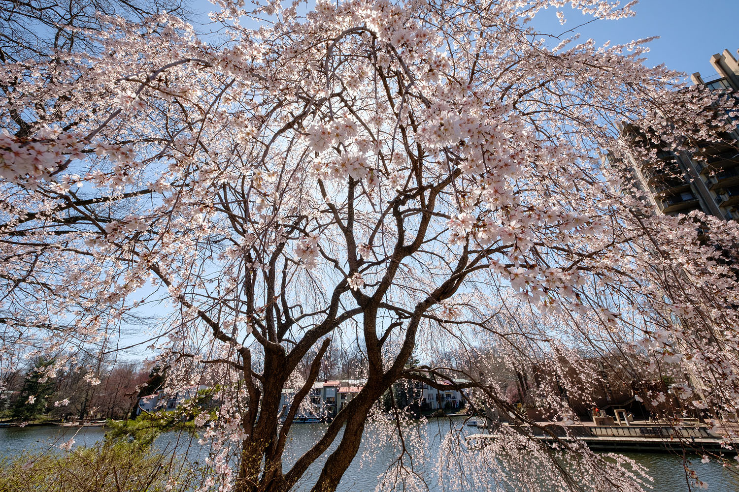 A weeping cherry blossom tree at Lake Anne in Reston, Virginia