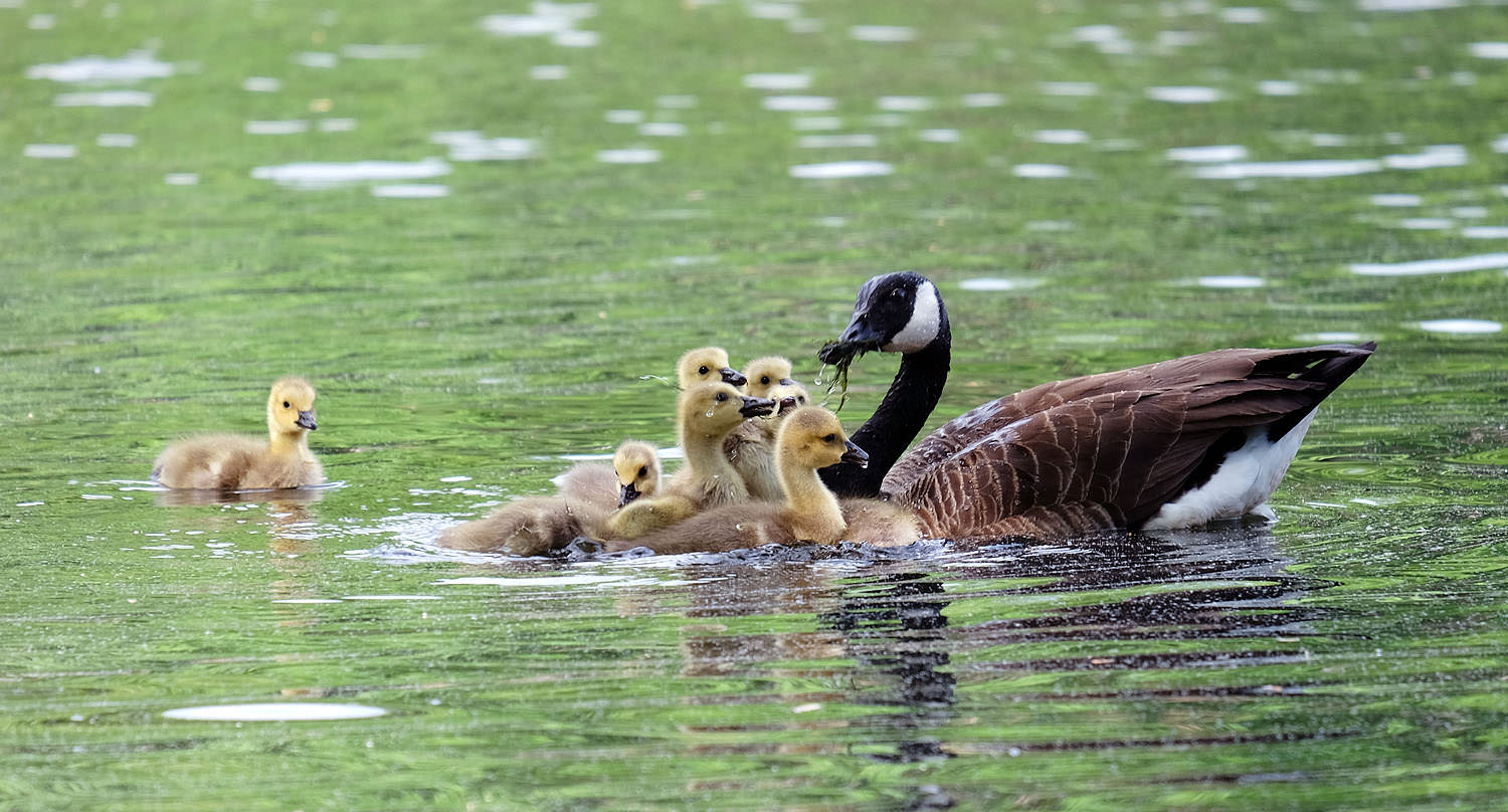 Dinnertime for the goslings at Lake Anne