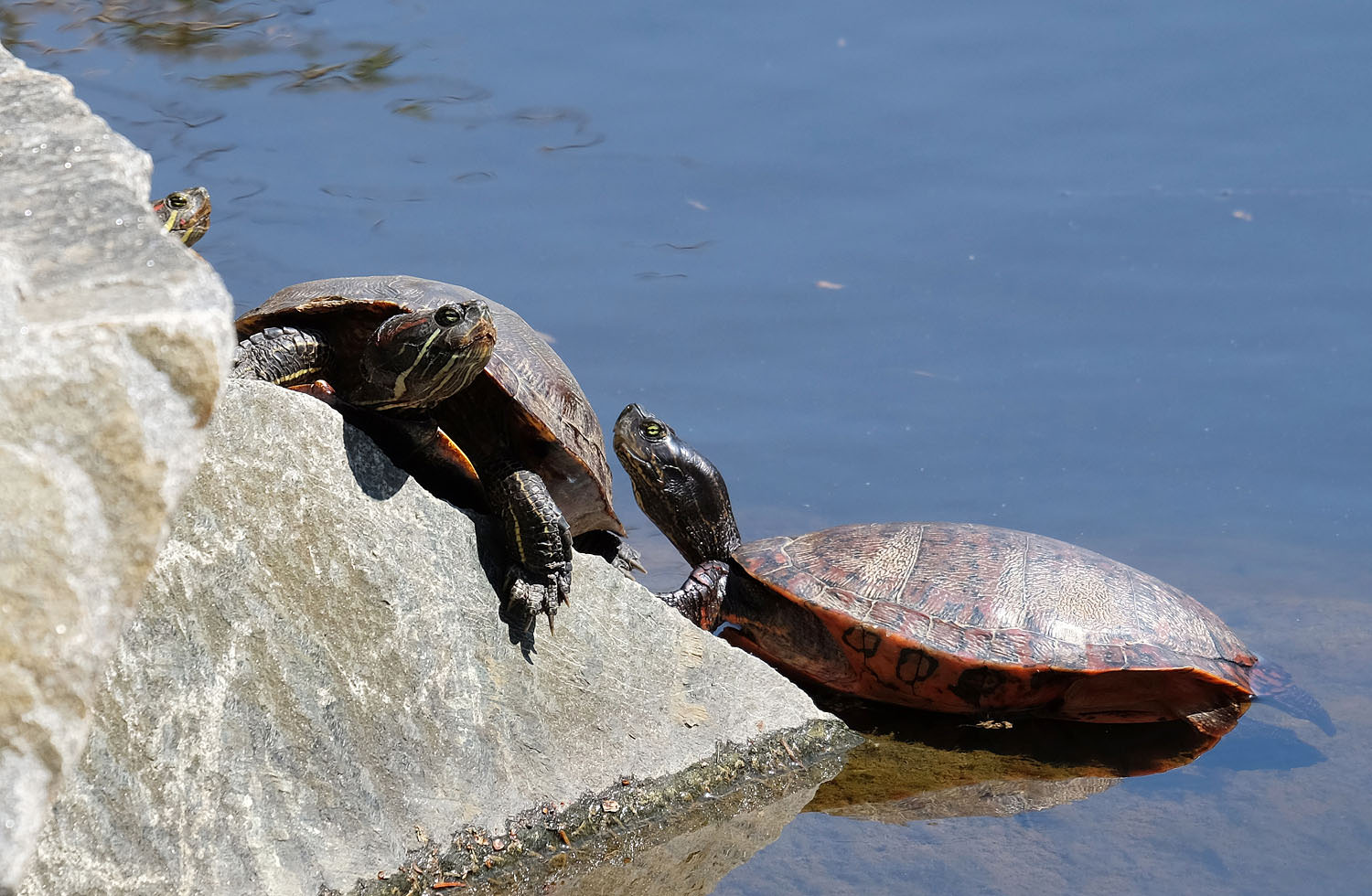 turtles in Reston, Virginia