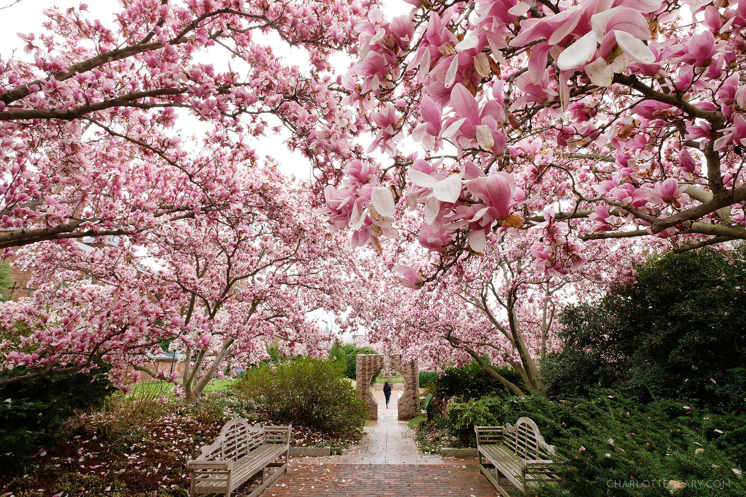 The magnolias of the Enid Haupt Garden at the Smithsonian Castle