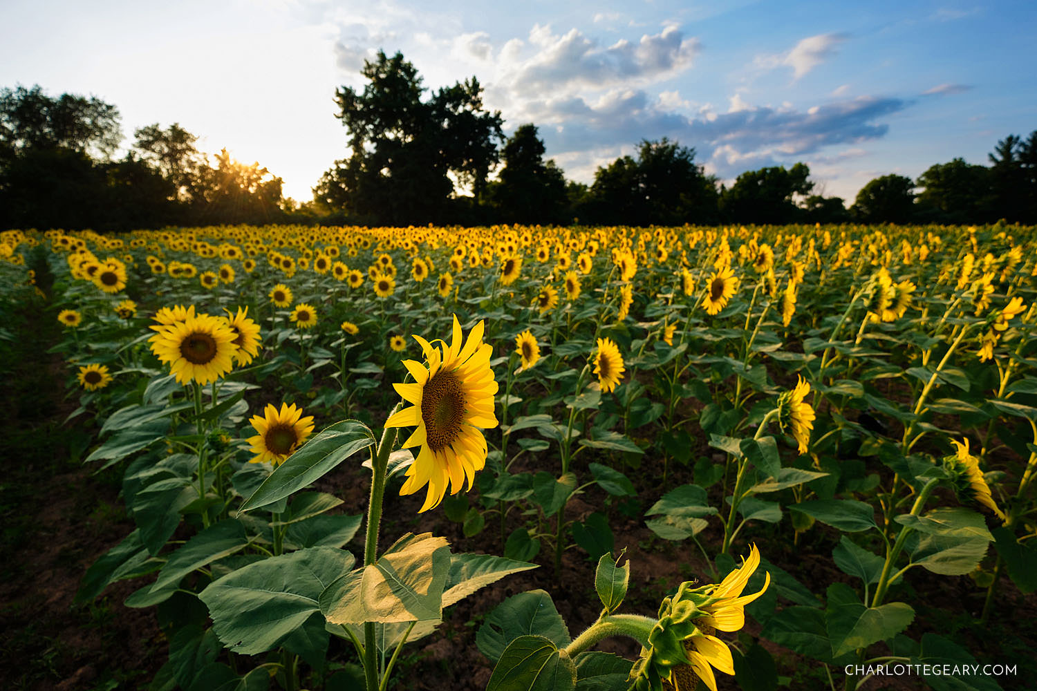 The sunflower fields of the McKee-Beshers Wildlife Management Area (Poolesville, Maryland)