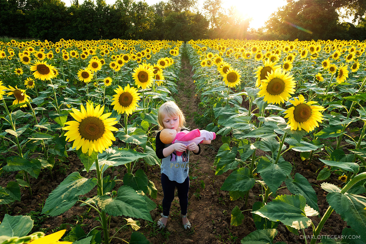 The sunflowers of Mckee-Bashers Wildlife Management Area (Poolesville, Maryland)